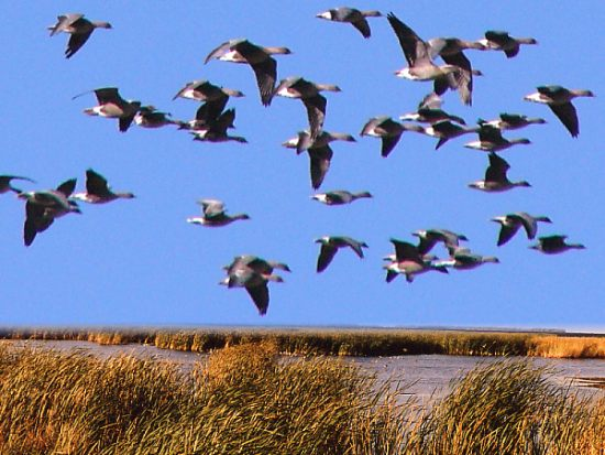 Pinkfooted geese over the marsg